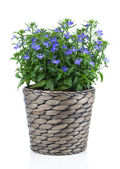 A sprig of blue lobelia in pot, on a white background. — Stock Photo