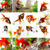 Set of goldfish in the aquarium — Stock Photo