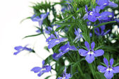 A sprig of blue lobelia, on a white background. — Stock Photo