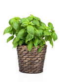 Basil Plant in Pot on White background — Stock Photo