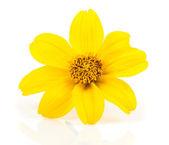 Yellow flowers - Goldmarie (Bidens ferulifolia) Bidens Goldilock — Stok fotoğraf