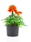 Dark red marigold in pot, on white isolated background — Stock Photo