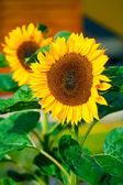 Close-up of sun flower  — Stock Photo