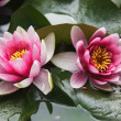 Stockfoto: Flower - Lotus