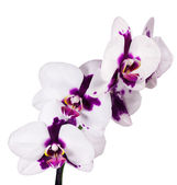 Orchid on white background — Stock Photo