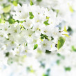 Apple blossoms on white background — Stock Photo