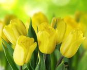 Beautiful yellow tulips on green bokeh background — Stock Photo