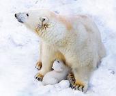 Polar bear with cub on snow — Photo