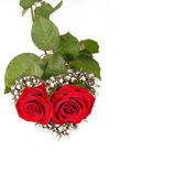 Two Roses for Valentine. Isolated on white — Stock Photo