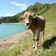 Panorama with cow — Stock Photo
