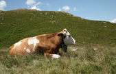 Cow out to pasture — Stock Photo