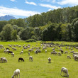 Flock of sheep grazing — Stock Photo #39460747