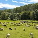 Flock of sheep grazing — Stock Photo