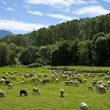 Flock of sheep grazing — Stock Photo #39460903