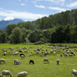 Flock of sheep grazing — Stock Photo