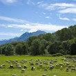 Stock Photo: Flock of sheep grazing