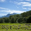 Flock of sheep grazing — Stock Photo #39461305