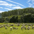 Flock of sheep grazing  — Stock Photo #39461645