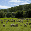 Flock of sheep grazing — Stock Photo #39461849