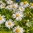 Royalty-Free Stock Photo: Blooming chamomile