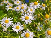 Blooming chamomile — Stock Photo