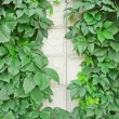 Green vines on a light wall — Stock Photo