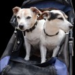 Two cute puppies in a pram — Stock Photo