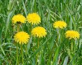 żółty mniszek lekarski — Zdjęcie stockowe