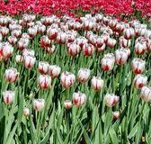 Färgglada tulpaner i parken. våren landskap. — Stockfoto