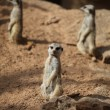 Stock Photo: Meerkat And Buddies