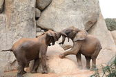 African Forest Elephants — Stock Photo