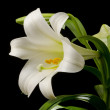 Easter Lily Blossom — Stock Photo #19784027