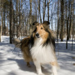Purebred Collie - Stock Photo