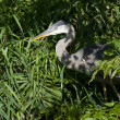 Stock Photo: Hiding Blue Heron