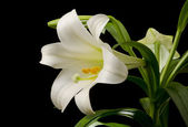 Easter Lily Blossom — Stock Photo