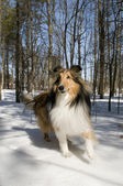 Purebred Collie — Stock Photo