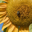 closeup of a sunflower and a bee — Stock Photo