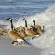 Gosling Coming out of the Waves - Stock Photo