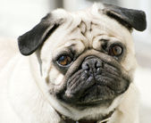 Cute Pug — Stock Photo