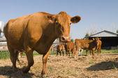 Alberta Beef — Stock Photo