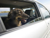 Car Ride for the Dog — Stock Photo