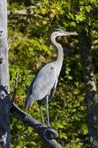 Heron Standing on a Dead Branch — Stock Photo