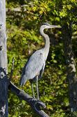 Heron duran ölü dal — Stok fotoğraf