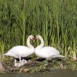 Heart Shape Swan Necks — Stock Photo