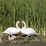 Heart Shape Swan Necks — Stock Photo #21691935