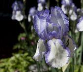 İris çiçeği üzerinde odaklanmak — Stok fotoğraf