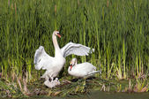 Adult Swans With Their Young — Stock Photo