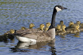 Goose With Goslings — Stock Photo