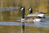 Focus on Foreground Goose — Stock Photo