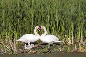 Heart Shape Swan Necks — Stock Photo